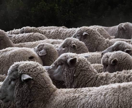 Nahaufnahme von Schafsherde