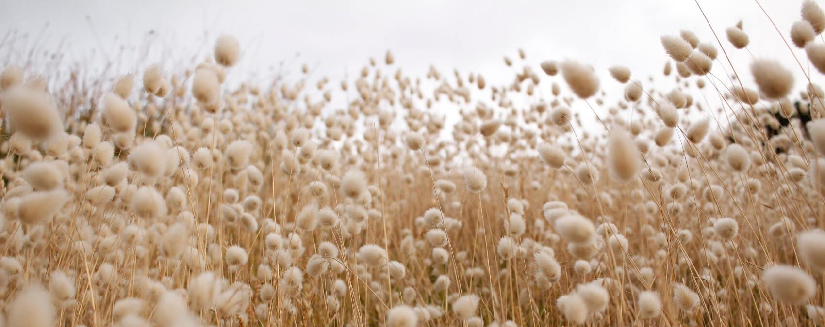 Aufnahme eines Baumwollfeldes